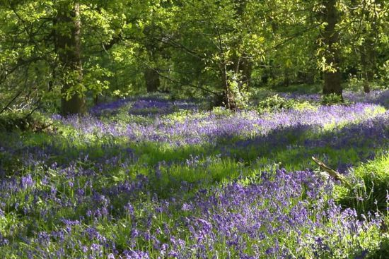 Bluebell_Walk.jpg