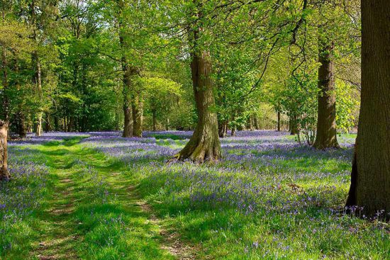 bluebells_woodland.jpg